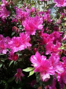 Azaleas In Gainesville
